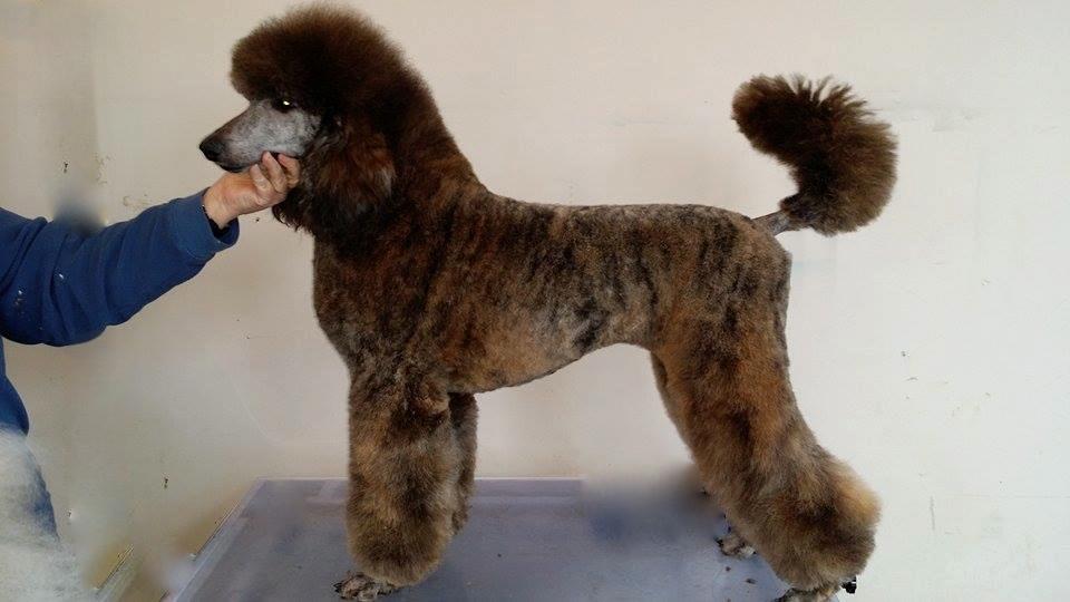 Brindle Standard Poodle | Dog Breeds Picture